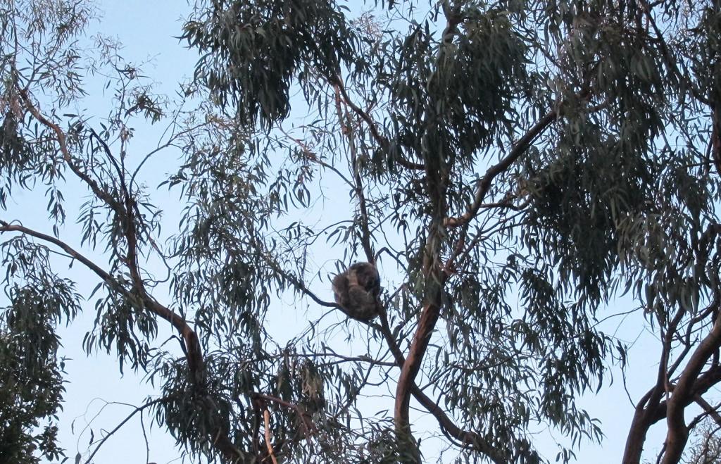 Vi såg flera koalor uppe i träden, både på vår camping och under bilfärden.