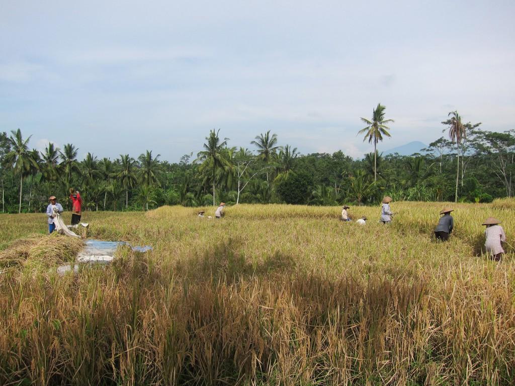 Vi fick besöka risfälten och se vilket jobb det ligger bakom det ris man äter. Helt fantastiskt vilket slit!