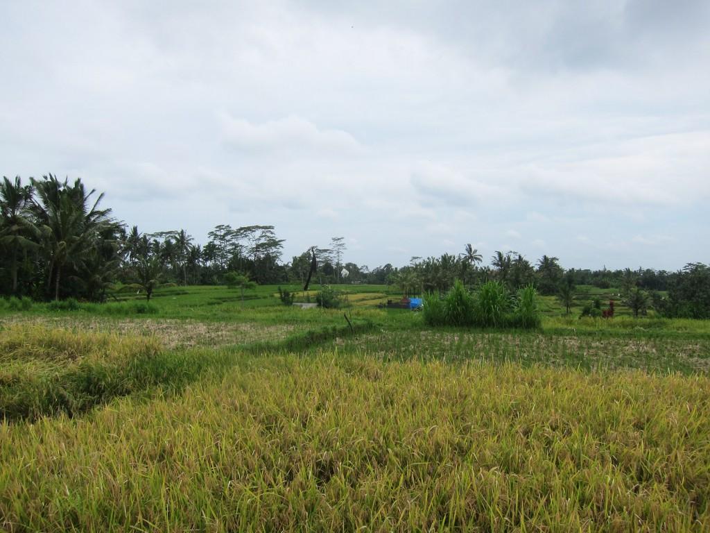 Vi besökte risfält.